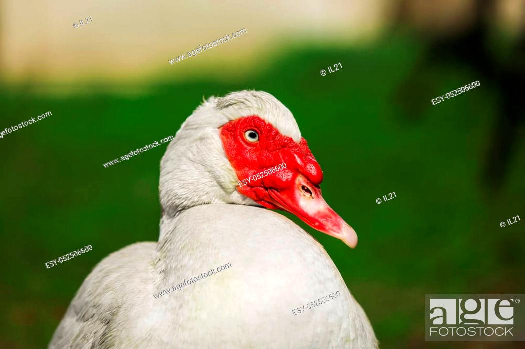 Stock Photo: Musky duck or indoda head close up portrait. White Muscovy bird with red wattles around beak looking at camera on blurred background.