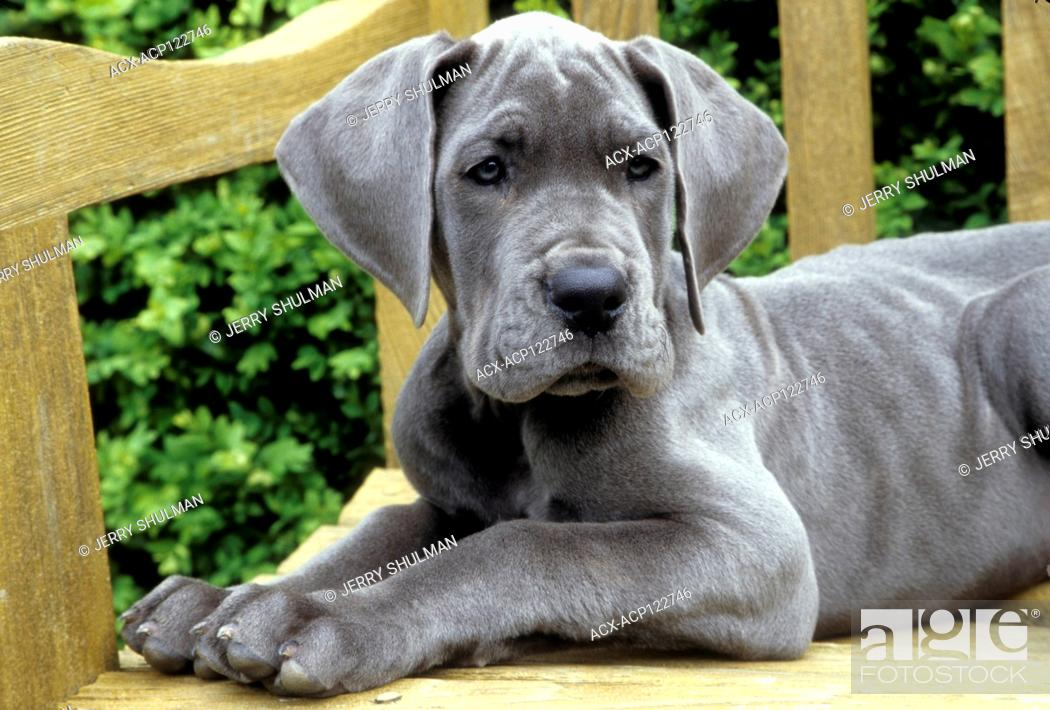 Stock Photo: Great Dane Puppy lying on wooden bench, facing forward.
