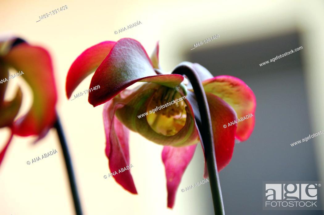 Stock Photo: Flowers of carnivorous plant Sarracenia.