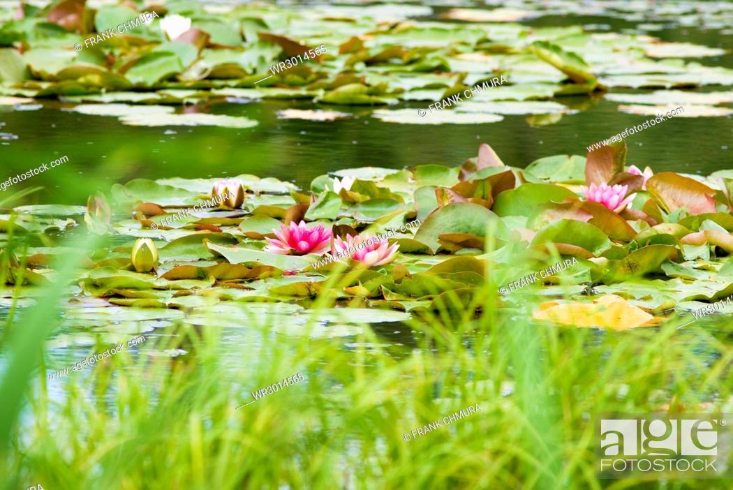 Photo de stock: Nymphaea Tetragona Water Lily on Lake.
