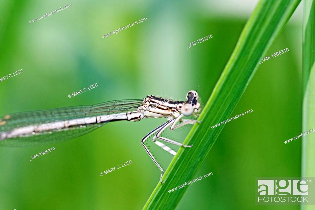 Stock Photo: White-legged Damselfly, Platycnemis pennipes  Immatue male.