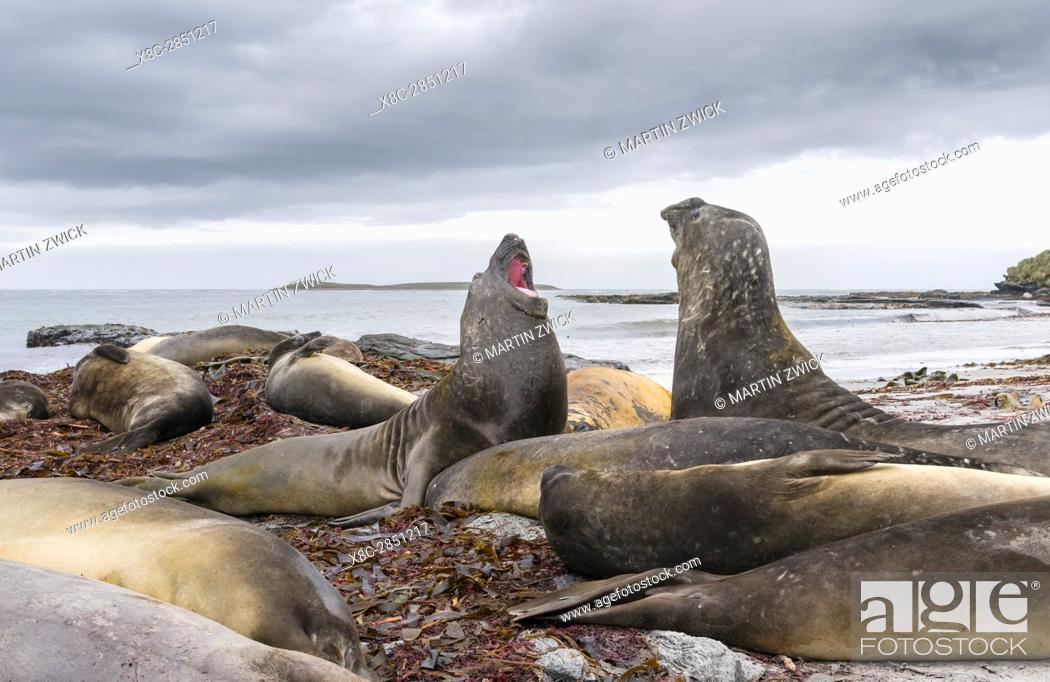 Stock Photo: Southern elephant seal (Mirounga leonina), male, after breeding period on the Falkland Islands, half grown bulls fighting for training and to establish pecking.