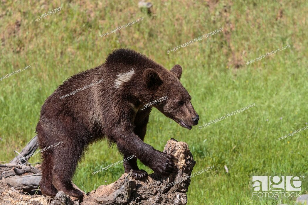 Imagen: Young grizzly bear (Ursus arctos horribilis) standing on a tree trunk, captive, California, USA.