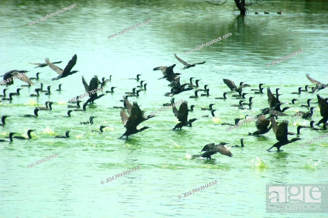 Stock Photo: LESSER CORMORANTS IN KOONTHAKULAM BIRD SANCTUARY, TAMILNADU, INDIA.