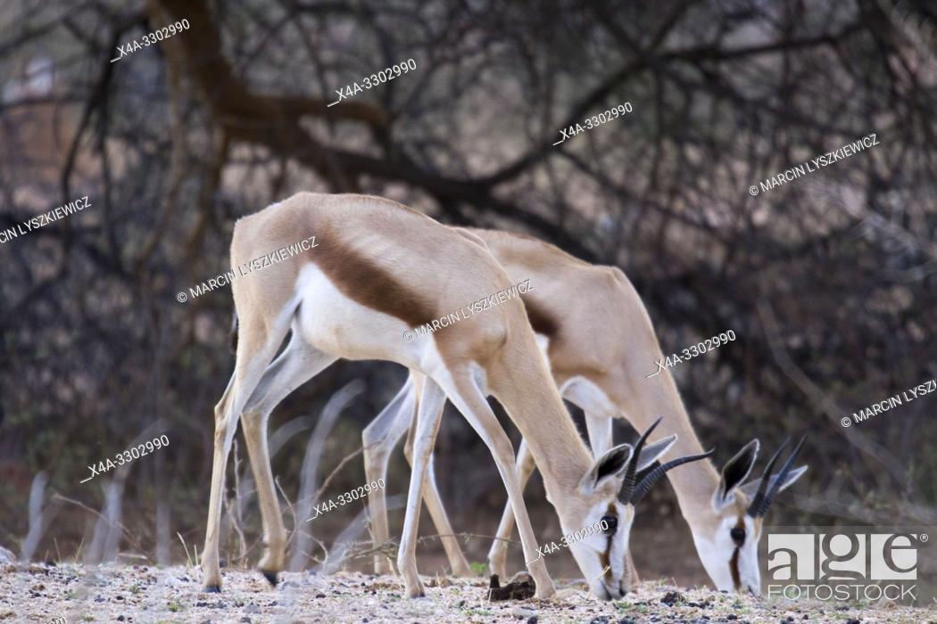 Stock Photo: Females of springbok, Okonjima Nature Reserve, Namibia.