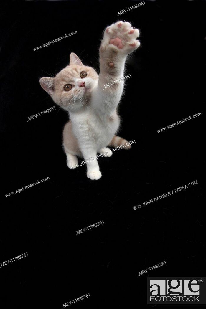Stock Photo: CAT. British shorthair.
