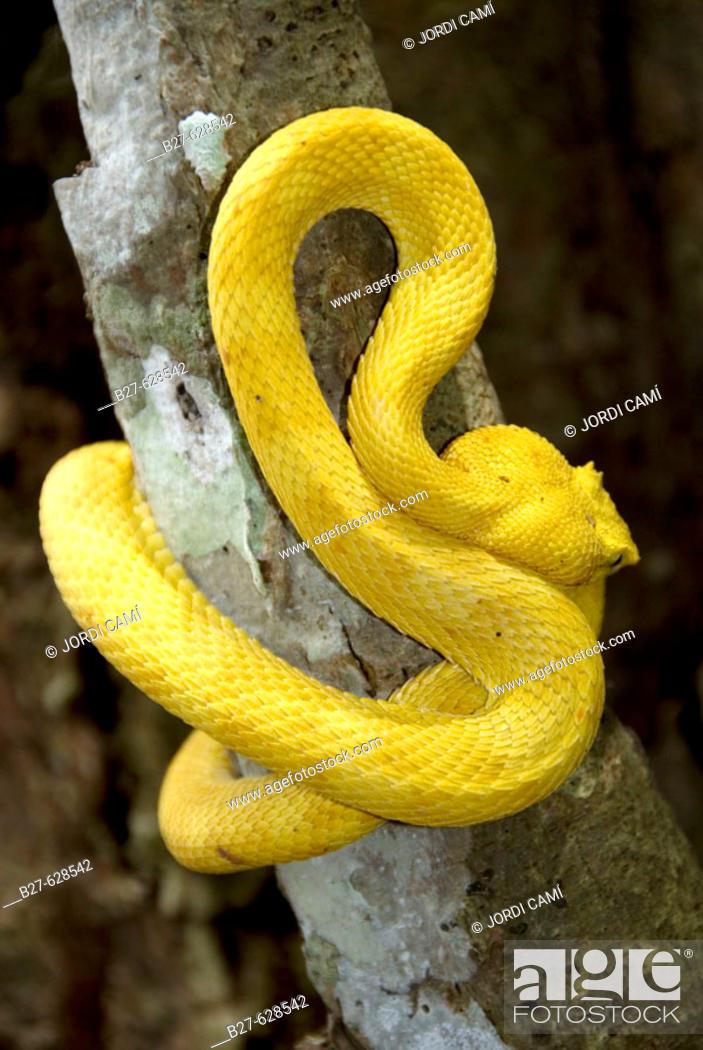 Stock Photo: Eyelash Viper ( Bothriechis schlegelii ). Cahuita National Park. Costa Rica.