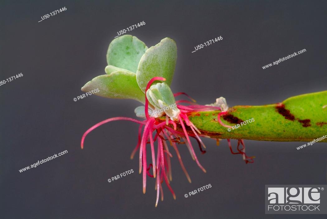 Succulent plants asexual propagation