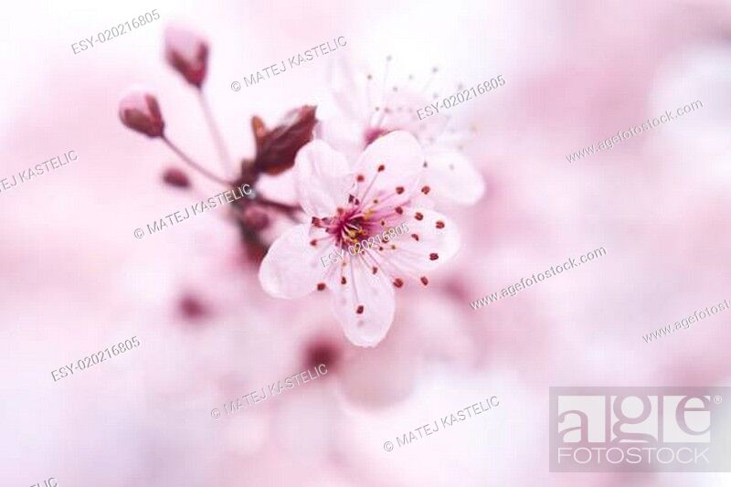 Stock Photo: Blooming fruit tree.
