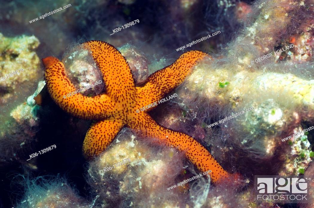 Stock Photo: Luzon starfish Echinaster luzonicus Misool, Raja Ampat, West Papua, Indonesia.