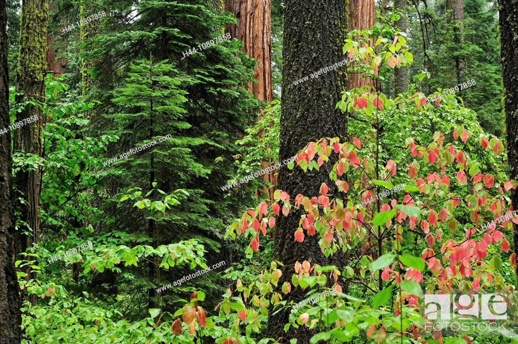 Stock Photo: Fall colors, Forest, leaves, Calaveras Big Tree, State Park, California, USA, United States, America, trees, wood, forest.
