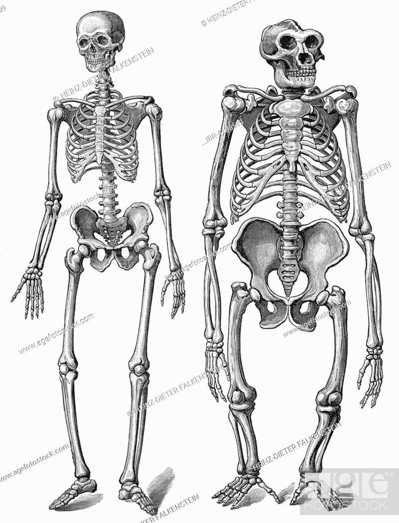 Human Skeleton Compared To Gorilla Skeleton Illustration Stock
