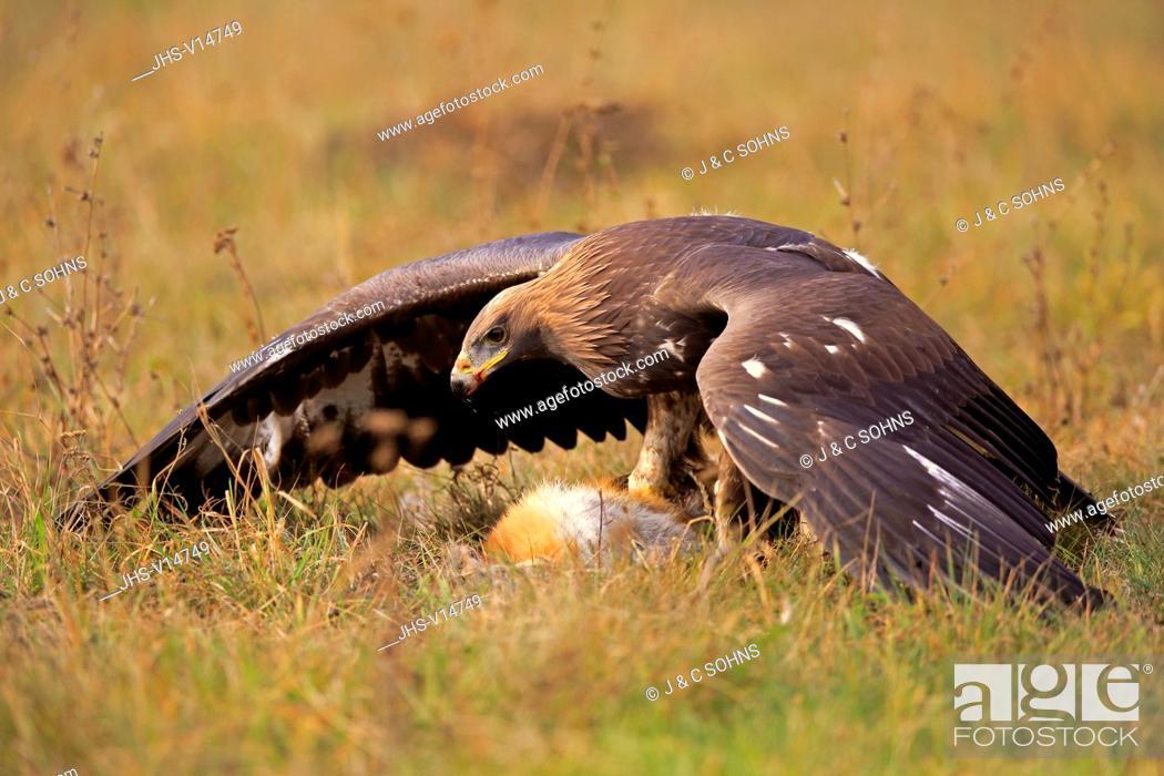 Stock Photo: Golden Eagle, (Aquila chrysaetos), adult on ground with prey spreads wings, Rimavska Sobota, Slovak Republic, Europe.