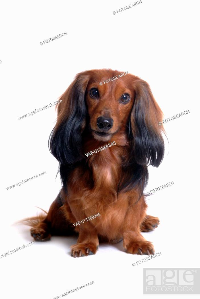 Stock Photo: closeup, domestic animal, close up, looking camera, looking forward, dachshund.