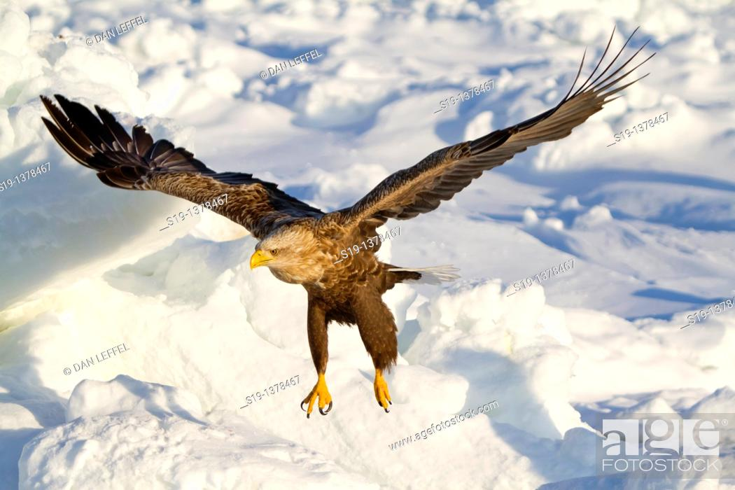 Stock Photo: White-tailed Eagle, Nemuro Channel, Hokkaido, Japan.