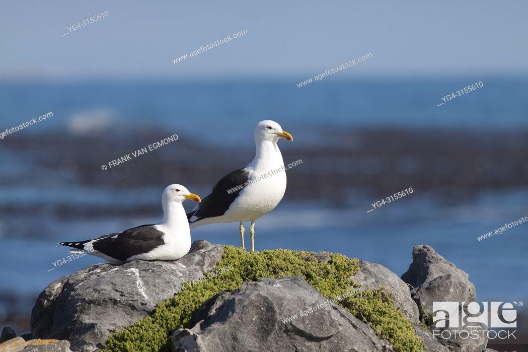 Stock Photo: Kelp Gull (Larus dominicanus), Gansbaai, South Africa.