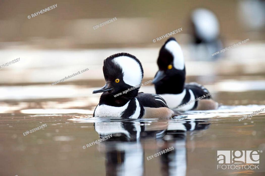 Stock Photo: A small group of Hooded Mergansers swim on a small pond displaying their hoods for nearby females.