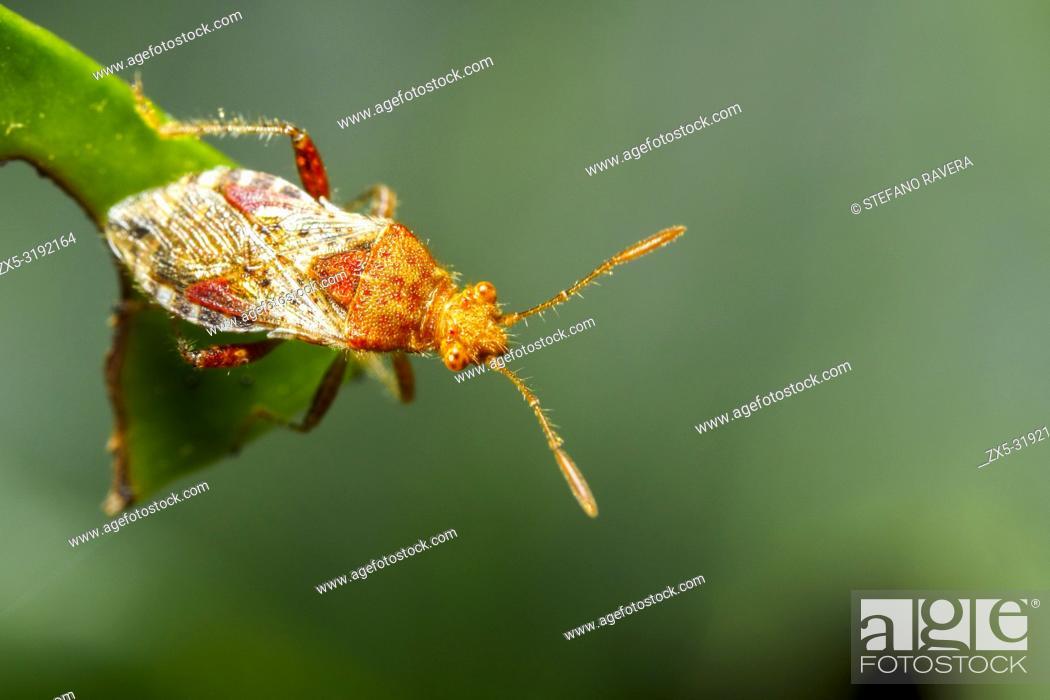 Imagen: Alydus calcaratus - Italy.