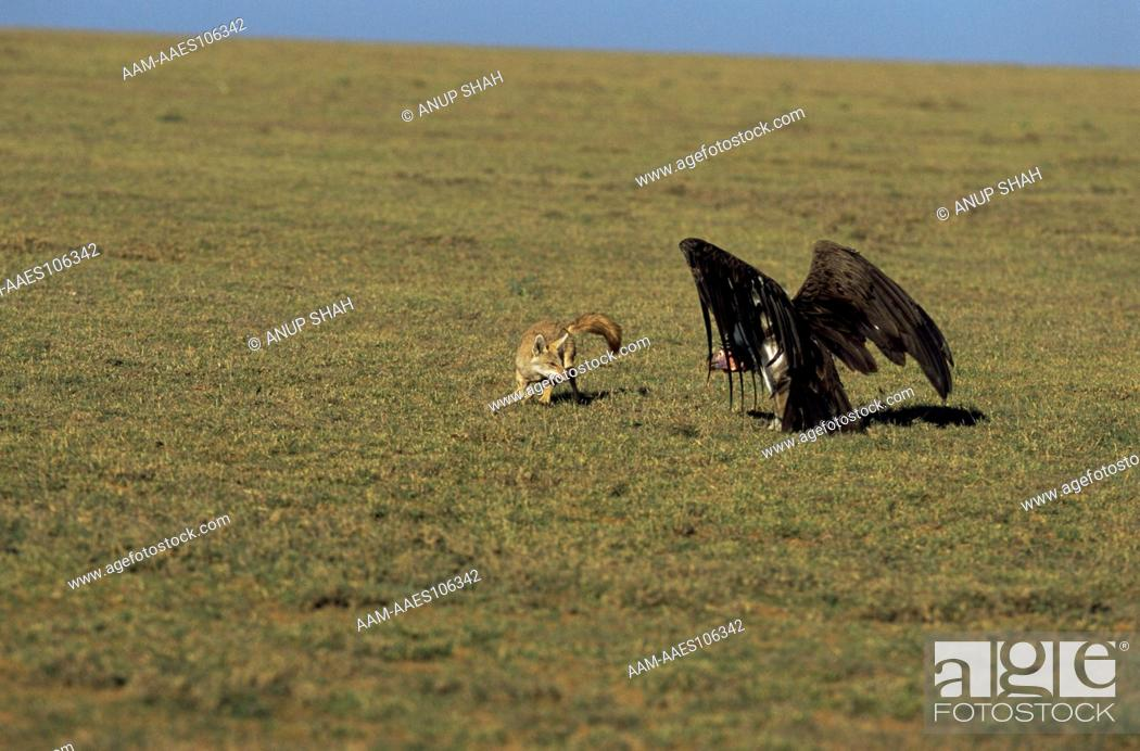 Stock Photo: Golden jackal (Canis aureus) and Vulture in 'stand off', Ngorongoro conservation area, Tanzania.