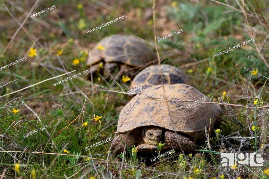 Stock Photo: three turtles walking in a row in the grass in spring.