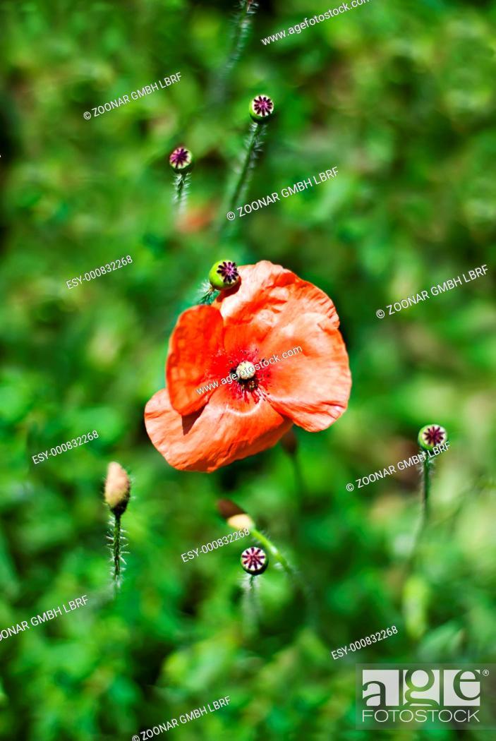Stock Photo: Wild poppies.