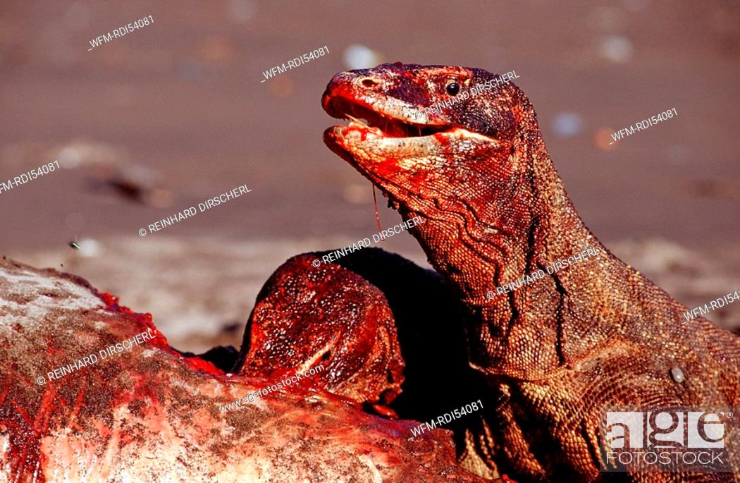 komodo dragons eating dead dolphin varanus komodoensis rinca