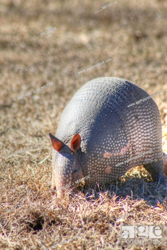 Stock Photo: Armadillo looking for food.