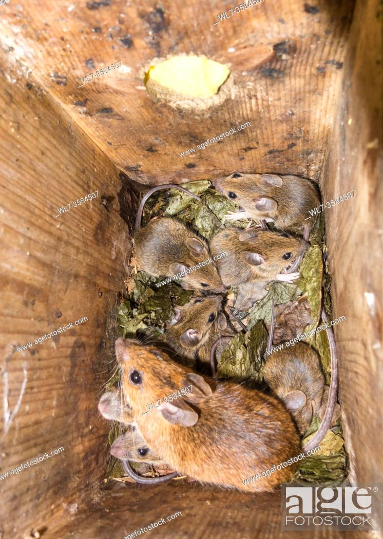 Stock Photo: Female Yellow-necked Mouse (Apodemus flavicollis) with young, in Dormouse nest box, Woolhope Herefordshire UK. June 2020.