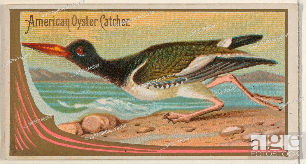 Imagen: American Oyster Catcher, from the Game Birds series (N13) for Allen & Ginter Cigarettes Brands. Publisher: Issued by Allen & Ginter (American, Richmond.
