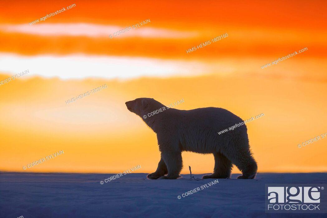 Stock Photo: United States, Alaska, Arctic National Wildlife Refuge, Kaktovik, Polar Bear( Ursus maritimus ), in the sunset along a barrier island outside Kaktovik, Alaska.