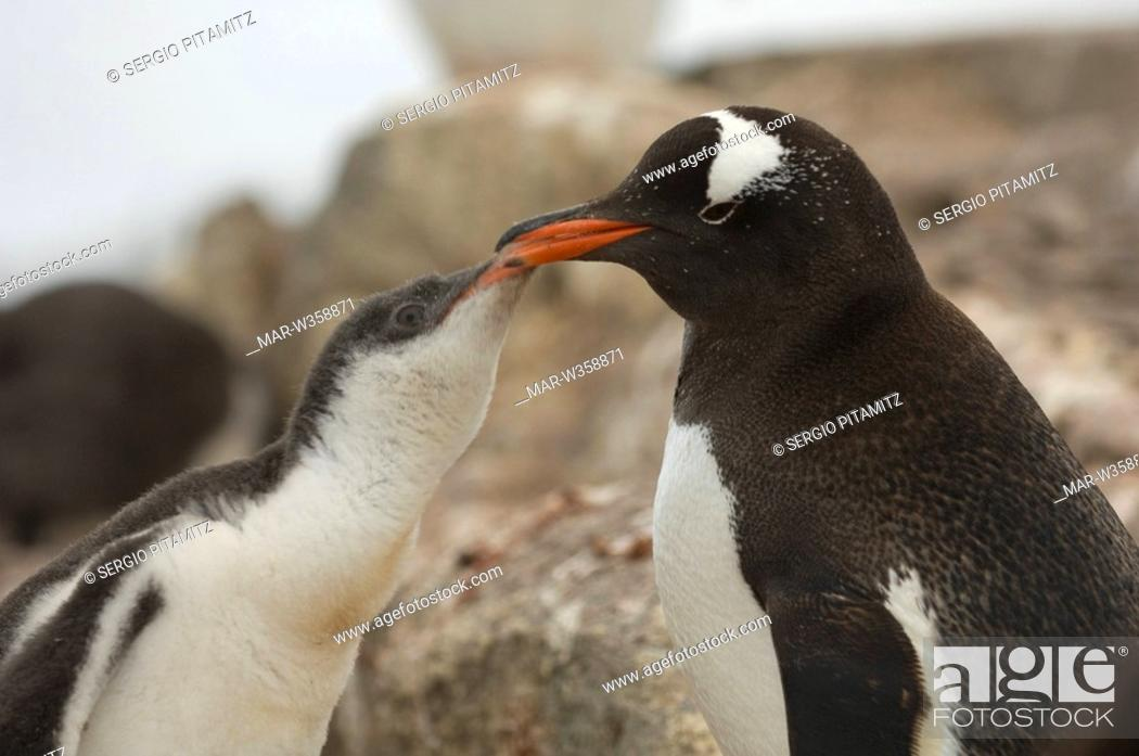 Stock Photo: Antarctica, Antarctic Peninsula, Port Lockroy, British base, Gentoo Penguins.