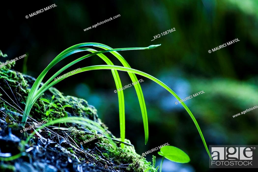 Stock Photo: long leafs plant in the forest.