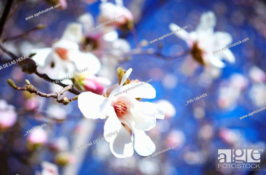 Stock Photo: Magnolia x loebneri 'Merrill'  Royal Botanical Garden  Madrid  Spain.