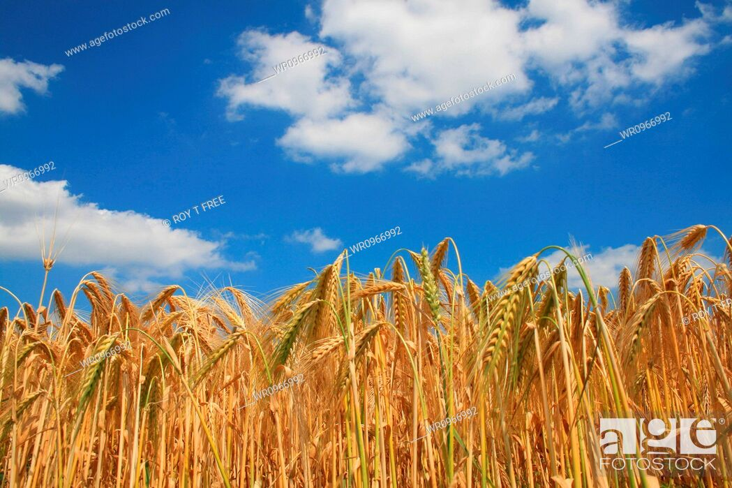 Stock Photo: Rhine, Ear, Barley, Summer, Sky, Europe, Field, Agriculture, Germany, Production, Nutrition, Cereals, Grain, Area