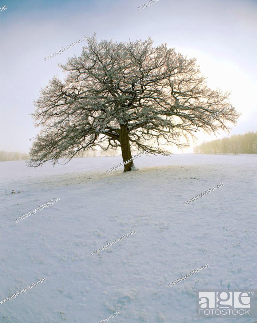 Stock Photo: Tree, oak (Quercus robur), winter, snow, landscape, cold, blue. Röddinge, Skåne.