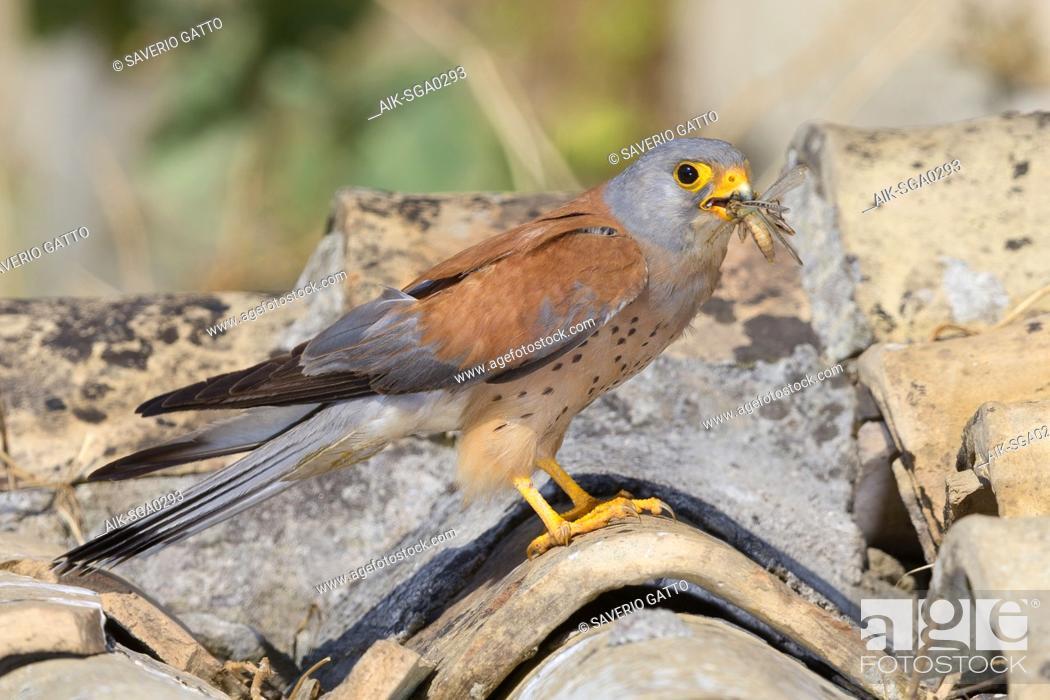 Stock Photo: Lesser Kestrel, male, Adult, Matera, Basilicata, Italy (Falco naumanni).