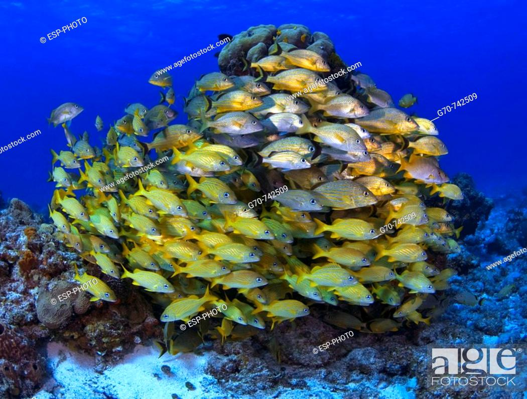 Stock Photo: Schooling fish Blue striped grunts on coral reef.