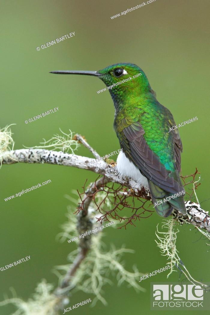 Stock Photo: Emerald-bellied Puffleg Eriocnemis alinae perched on a branch in Peru.