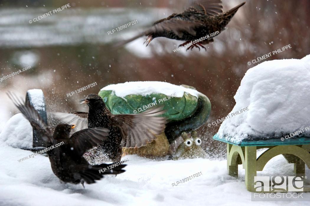 Stock Photo: Common Starlings / European Starling (Sturnus vulgaris) fighting with Common Blackbird (Turdus merula) at bird feeder in garden during snow shower in winter.