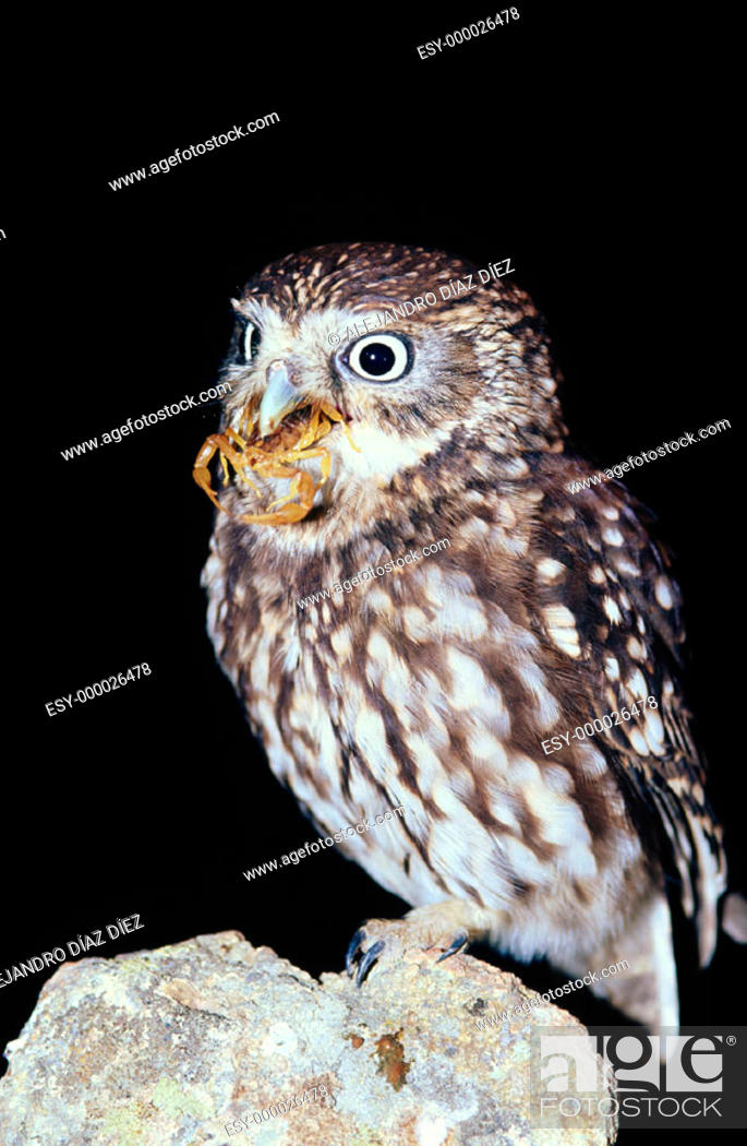 Stock Photo: Little Owl (Athene noctua) with scorpion.