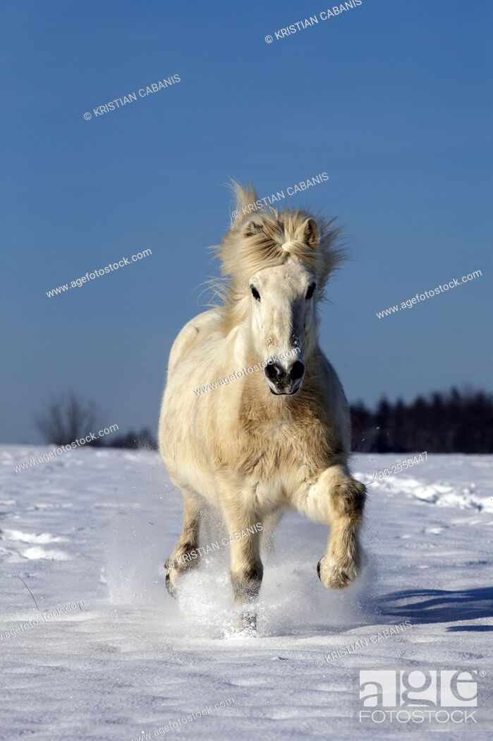 Stock Photo: White Icelandic horse running on a snowy meadow heading to the photographer, Lennestadt, Siegerland, North-Rhein-Westphalia, Germany, Europe.