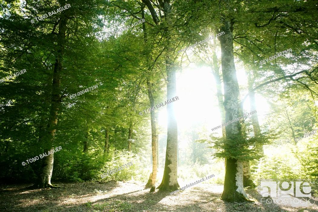 Stock Photo: Beech green magic forest with sun reflections in Irati.