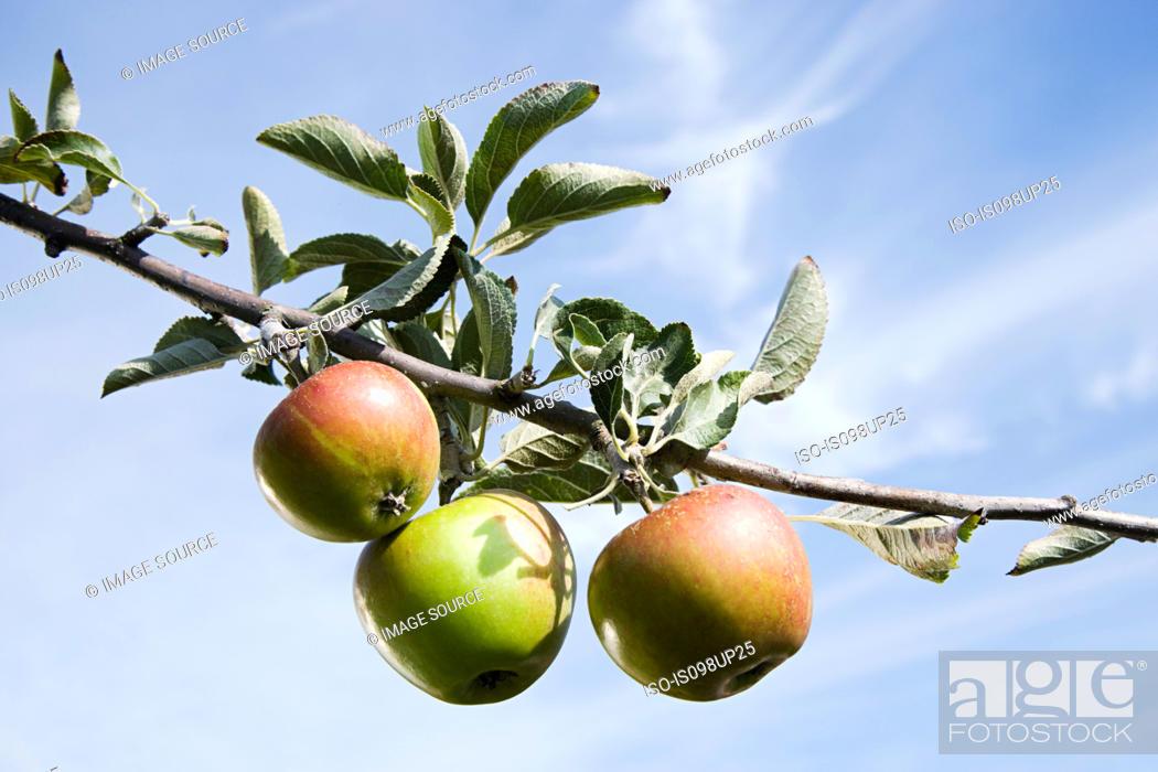 Stock Photo: Three apples growing on tree branch.