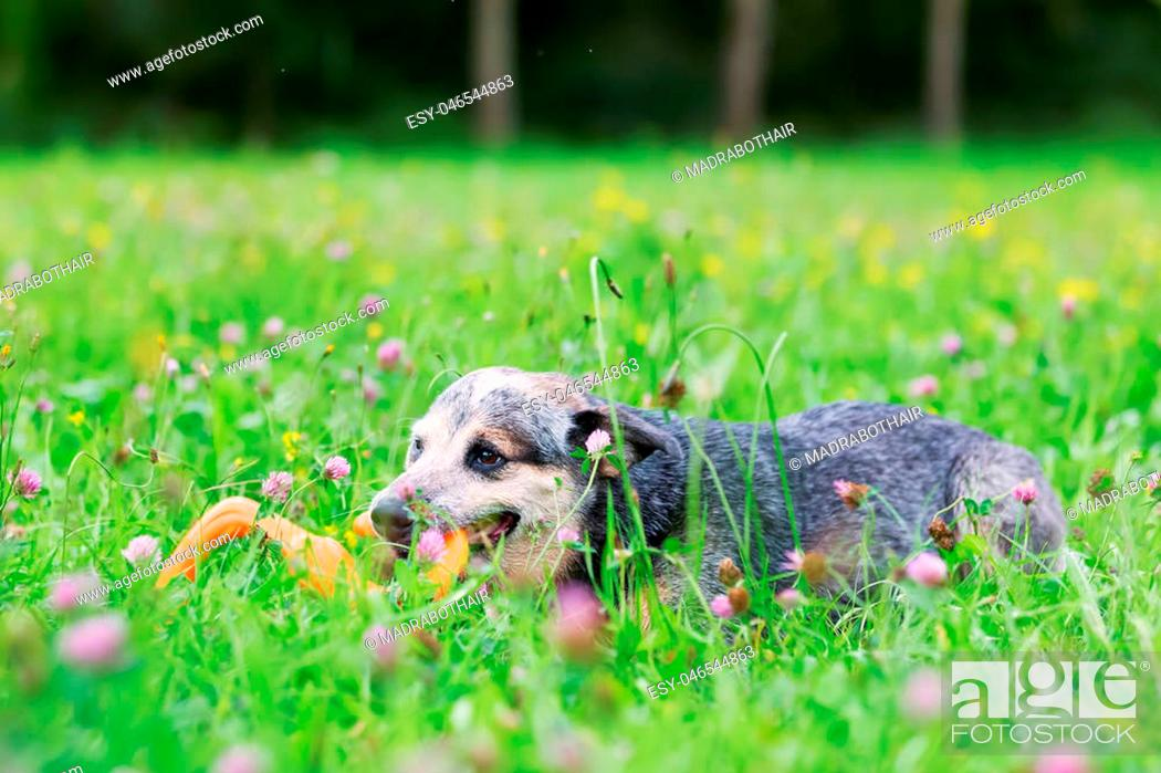 Stock Photo: Portrait of an Australian cattledog who plays with a toy on the meadow.