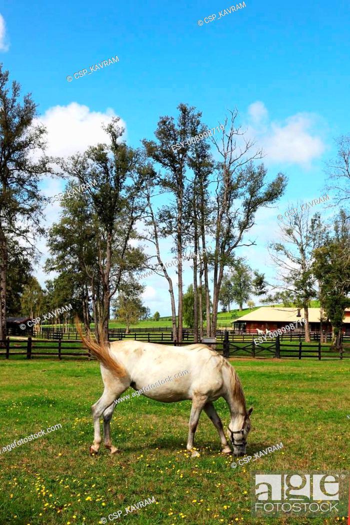 Stock Photo: The white horse.
