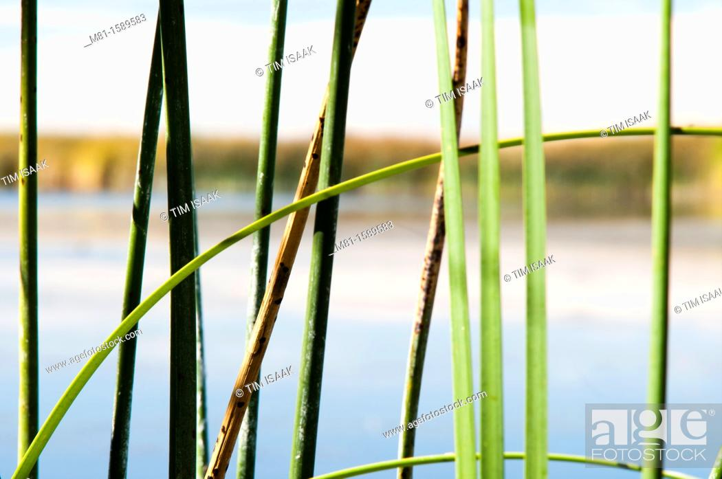 Stock Photo: Cattail Typha latifolia and Bulrush Scirpus lacustris vegetation in Malheur National Wildlife Area. Harney County, Oregon, USA.
