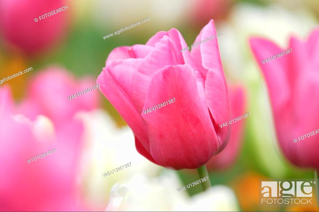 Stock Photo: Tulip.