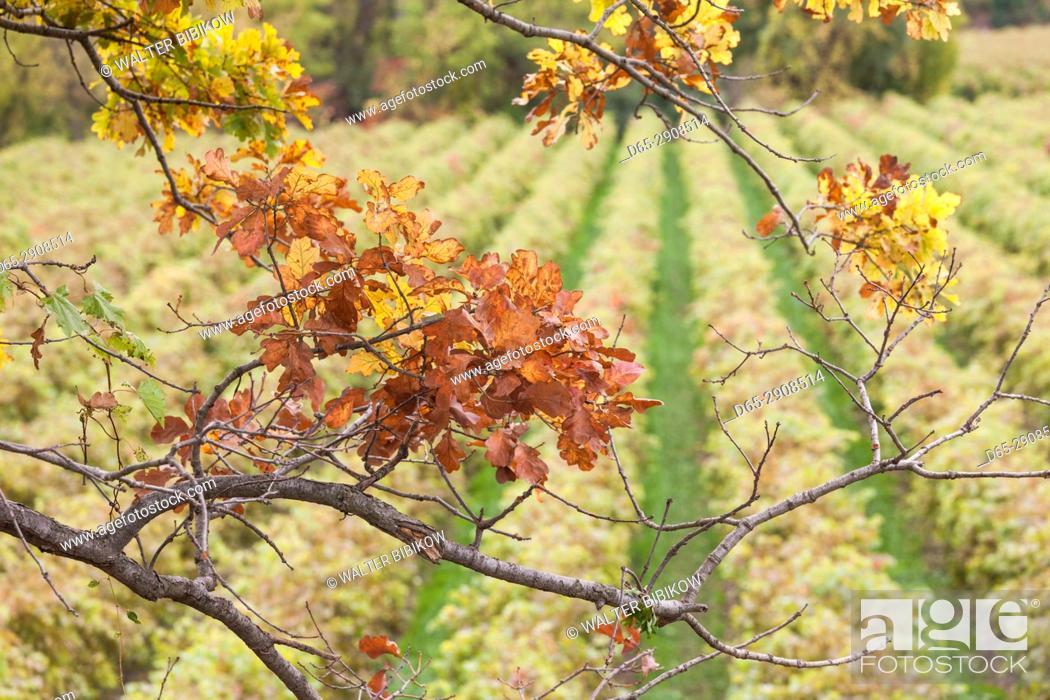 Imagen: Canada, Ontario, Niagara On the Lake Wine Country, vineyards, autumn.