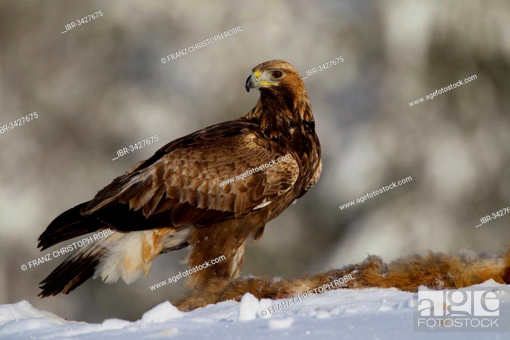 Stock Photo: Golden Eagle (Aquila chrysaetos) with a dead fox in winter.