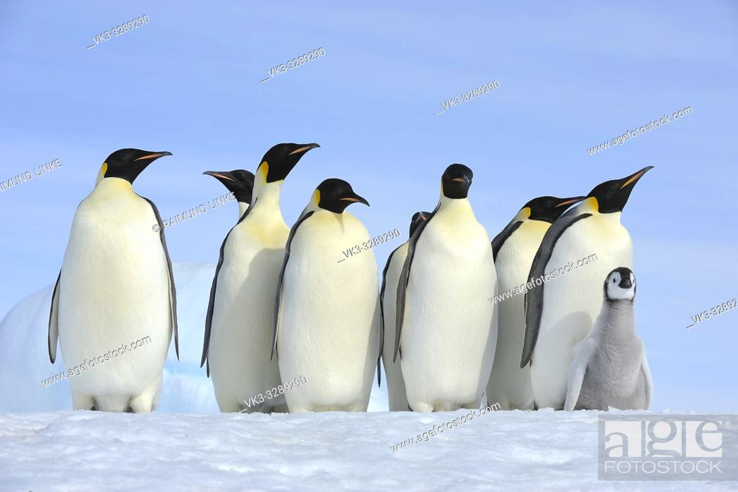 Stock Photo: Emperor penguins, Aptenodytes forsteri, Group of Adults with Chick, Snow Hill Island, Antartic Peninsula, Antarctica.